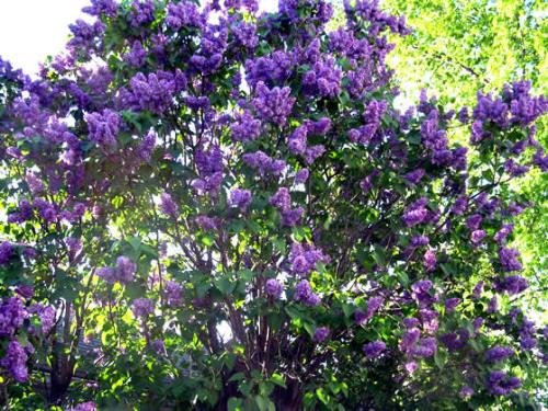 May 26 lilacs